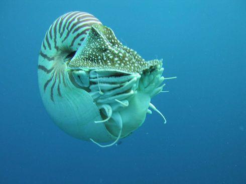 A Nautilus